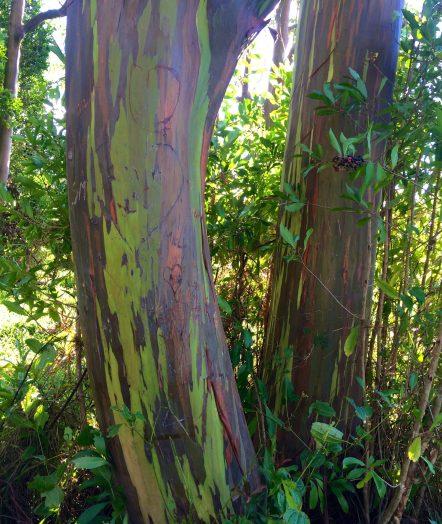Rainbow eucalyptus trees, Road to Hana, Maui, Hawaii