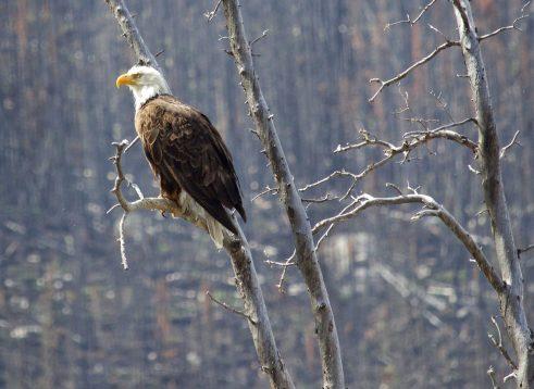 Eagle at Medicine Lake, Jasper