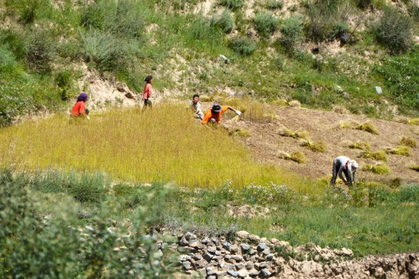 Harvesting time. A Tibetan family gathering flaxseeds near the Panchen Lama's village.
