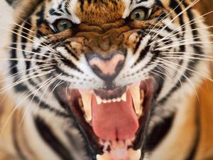 Tiger Face Snarling