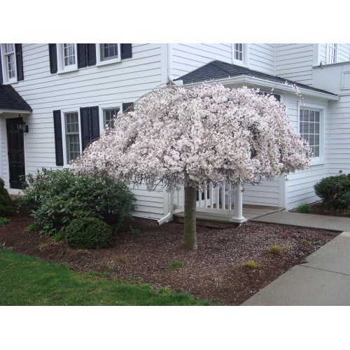 Medium Crop Of Snow Fountain Weeping Cherry
