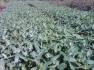 Grandis eucalyptus seedlings