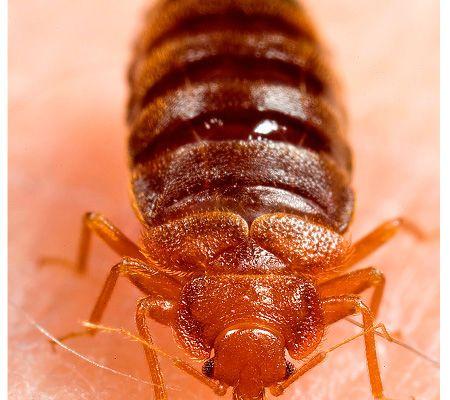 bedbugs 5 - Copy - Copy - Copy - Copy - Copy