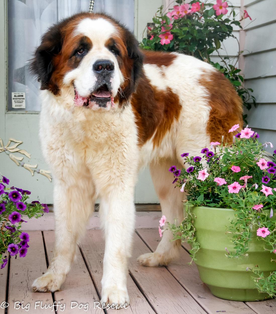Fullsize Of Big Fluffy Dog
