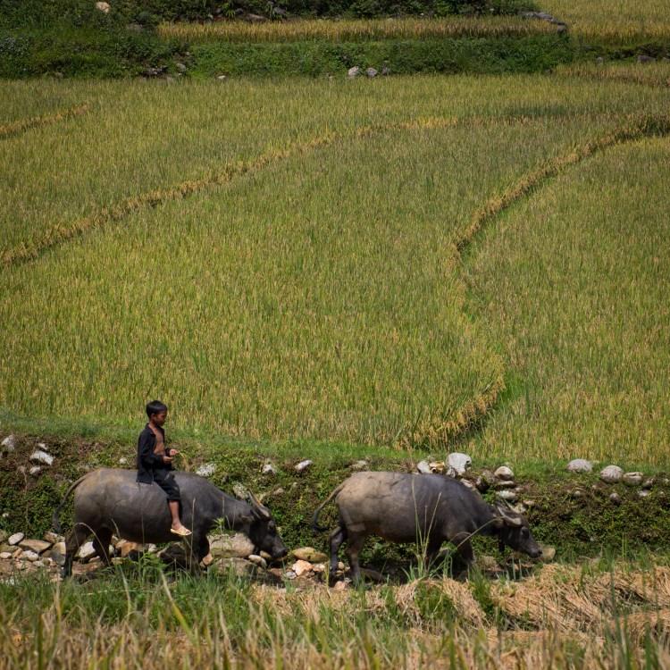 Junge und Wasserbüffel