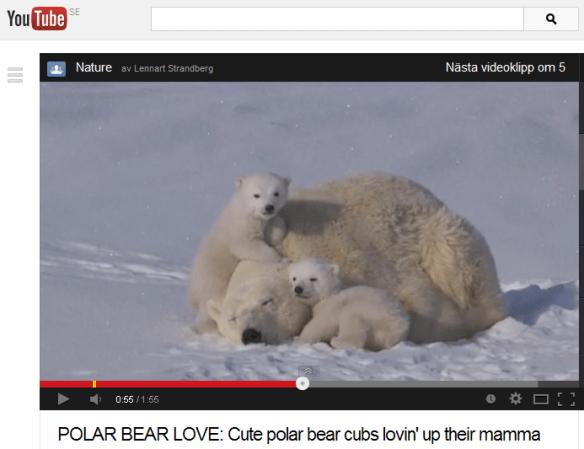 Video med isbjörnar i en 'snäll' sinnesstämning.