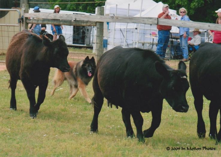 Ranger cows