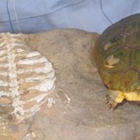 Kaplumbağa Kabukları Hangi Nedenle Gelişti?
