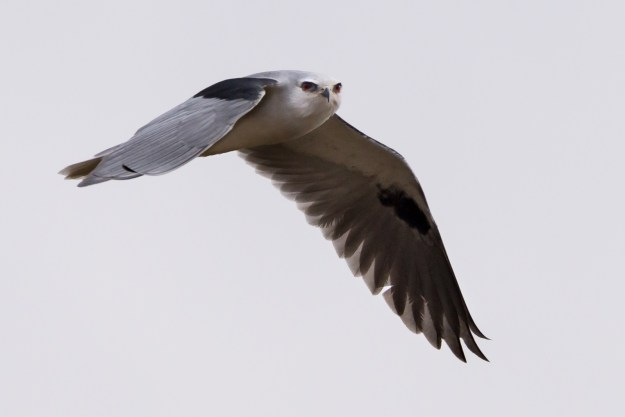 White-tailed Kite. Photo made with Nikon D610 and Nikkor 200-500mm f/5.6E at 500mm, f/8, ISO 500, 1/2000-second