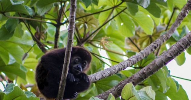 Juvenile black howling monkey resting in a Cecropia tree (photo credit: Meagan Ody)