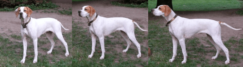 Pointer Brett at 11 months of age.