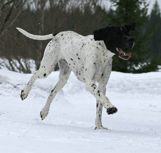 Tasu Ansa's Pointer Dad in Finland