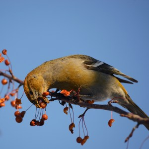 web-pine-grosbeak-solid-sound_5031