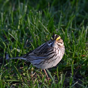 web-savannah-sparrow-solid-sound_7837