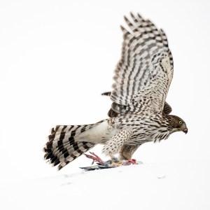 Cooper's Hawk, Nov. 30, 2014
