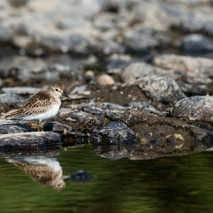 Least Sandpiper, Sept. 7, 2015