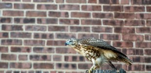 An immature red-tailed hawk on Sargeant Street in Holyoke, Oct. 12, 2016.