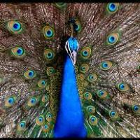Can Peacocks Fly - Do Peacocks Fly - How Far Can A Peacock Fly
