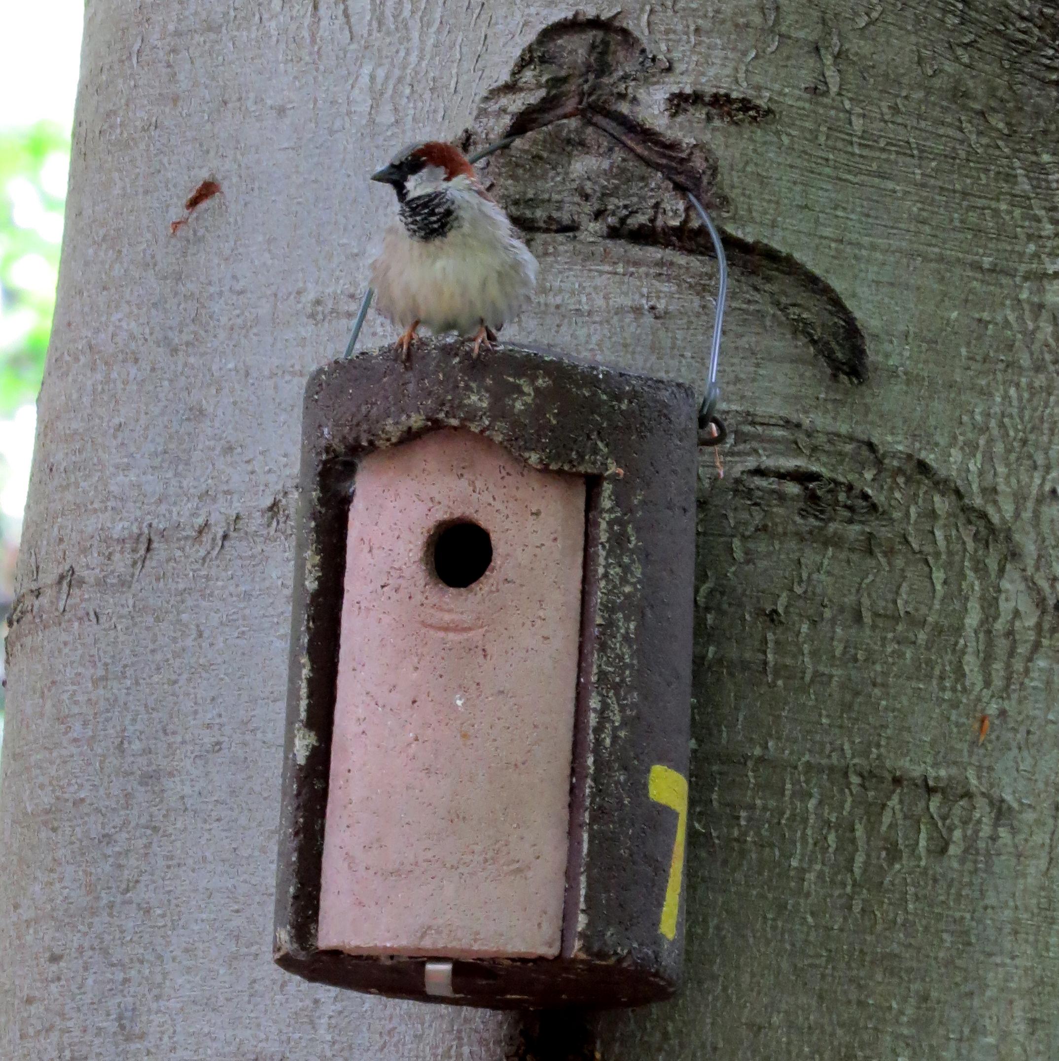 House sparrow birds in berlin for Sparrow birdhouse plans