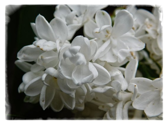 White lilac is full of blooms this spring