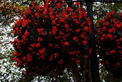 begonia-1.jpg