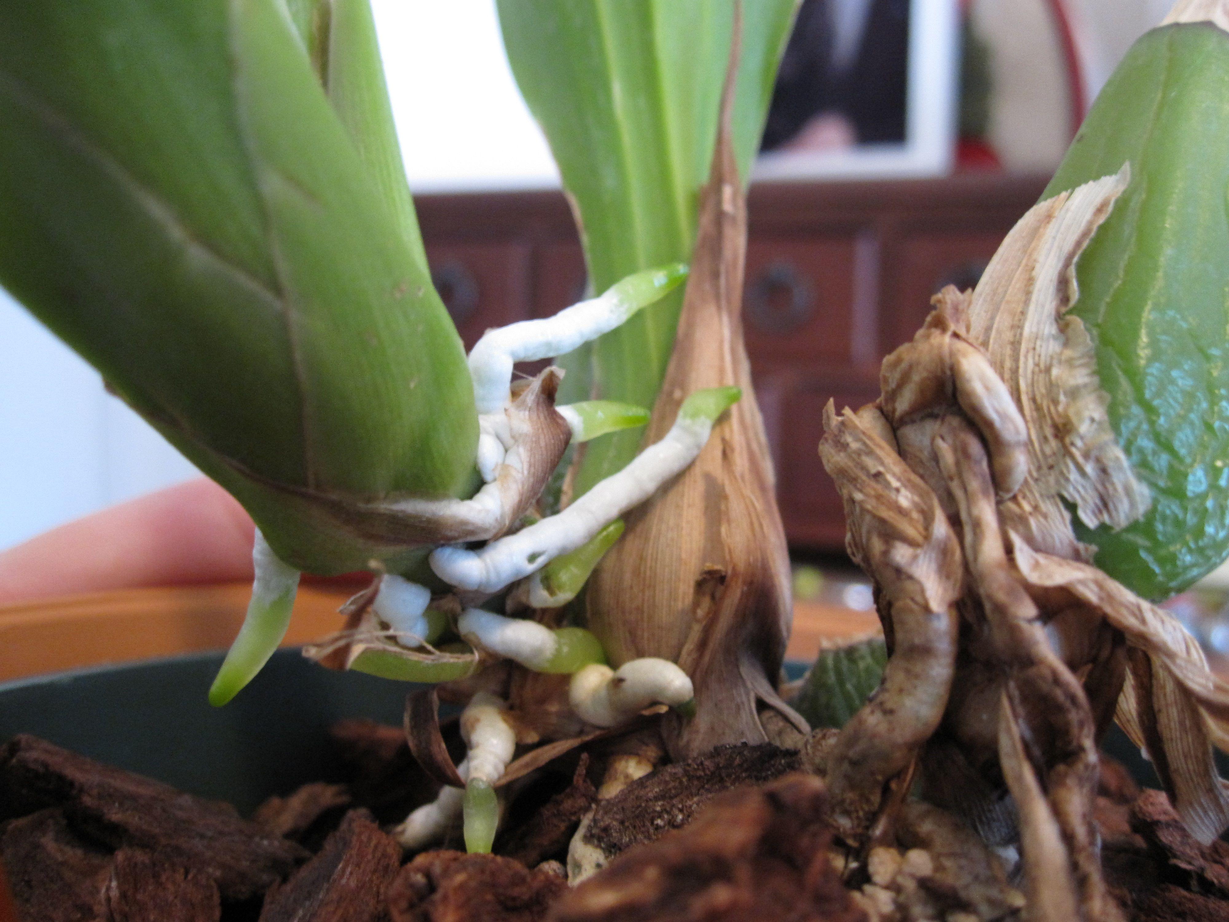 Фотоурок по пересадке орхидей Клуб любителей орхидей 44