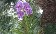 Vanda at R.F. Orchids