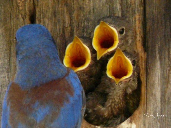 800px-sialia_mexicana_-adult_feeding_chicks_in_a_nestbox-8