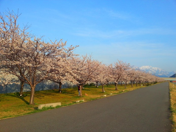 Cherry trees line the embankment of the Himekawa River