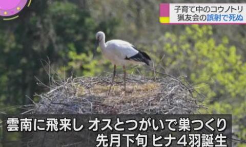 コウノトリ 鷺 特別天然記念物 猟友会 誤射 島根 雲南