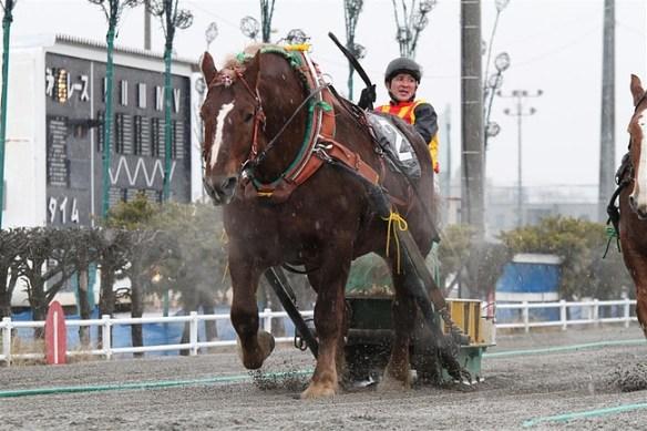 【ばんえい競馬】食肉寸前から復活勝利で話題、人気馬となったゴールデンバージ(雄、15歳)が引退…今後は牧場で余生