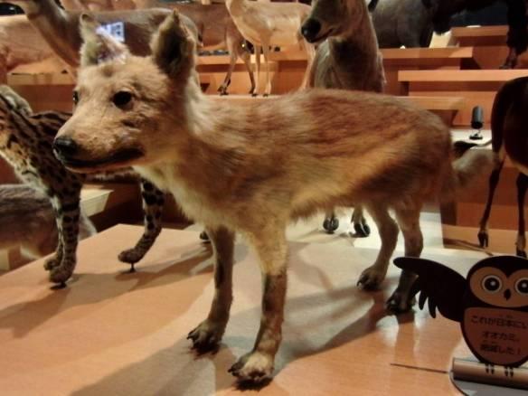 【画像】ニホンオオカミの剥製wwwwwwwwwwwww
