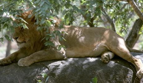 動物園のライオン「客を無視して寝まくった結果wwwwwwwwwwwwww」