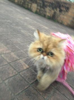 【画像あり】ふわふわの猫ちゃんと散歩してきたお(^ω^)