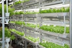 富士通、レタスの初出荷…半導体工場を植物工場に転用して栽培