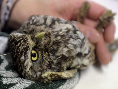 針治療を受けているフクロウがかわいすぎる(画像) … 背中にケガをして立つこともできなかった体長25cmのコキンメフクロウ、鍼治療を受けて飛べるまで回復 - スペイン