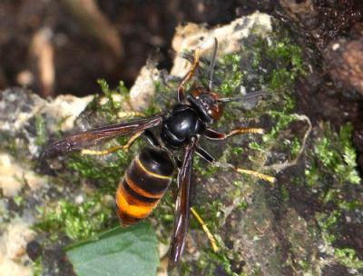 中国原産のスズメバチ「ツマアカスズメバチ」 対馬に侵入、定着 … 韓国や欧州で人間の被害や生態系への影響が大きな問題に