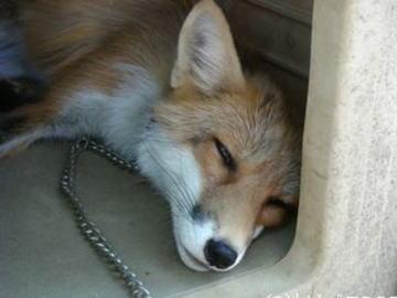 愛知県阿久比町で捕獲された犬のふんから、寄生虫「エキノコックス」の卵が見つかる … 愛知まで南下か?
