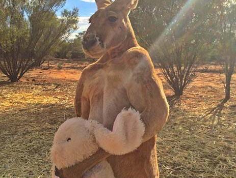 取り上げようとすると猛烈なキック、ウサギのぬいぐるみを手放さないカンガルーが話題に(画像) … 普段はぬいぐるみにパンチを浴びせる