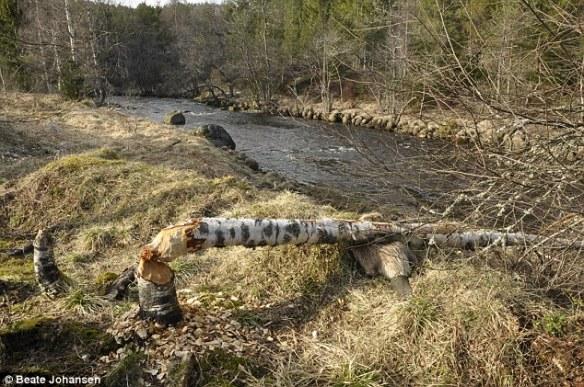 【悲報】ビーバー、自分の切り倒した木に押しつぶされて死亡wwwwwwwwww(画像あり)