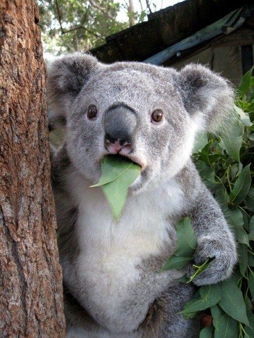 【悲報】オーストラリア「コアラ邪魔だわー、この前700頭死なせたけどまだ多いからもっと殺すわwwwwwwwww」