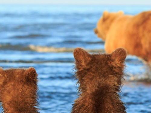 母クマの狩りを、手をつないで見守る2頭の子グマ 米国