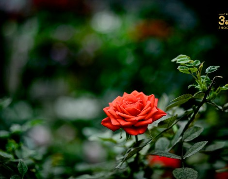Vermillion Rose
