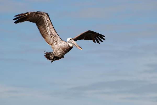 Brown-pelican-pelecanus-occidentalis-flight