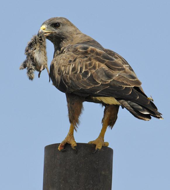 Dark-morph Swainson's Hawk « ABA Blog