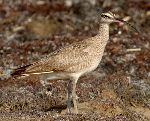 Whimbrel; Bolivar Flats, Texas; 9 July 2006