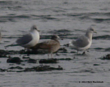 Black-tailed Gull +Kodiak+2-19-12 copy