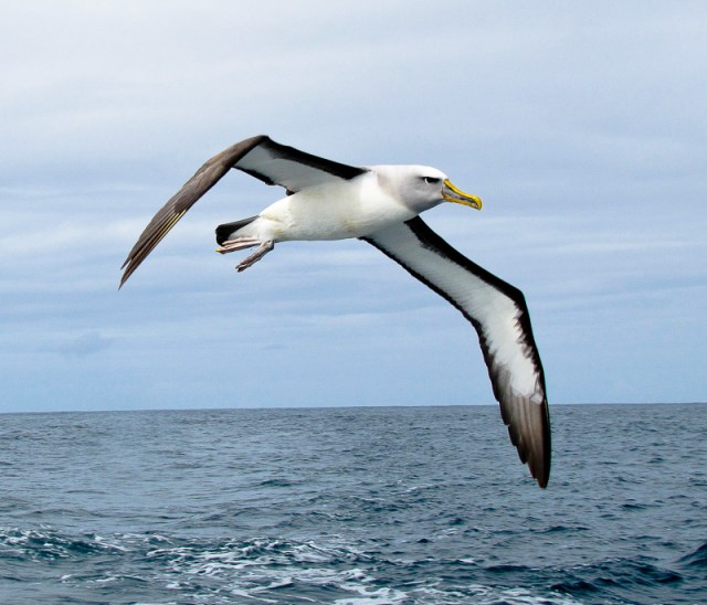Bullers albatross near Stewart Island NZ Jim Thomsen
