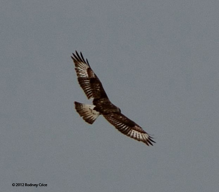 ABArare Ferruginous Hawk Crice 03
