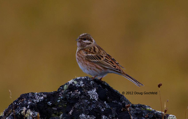 ABArare Pine Bunting